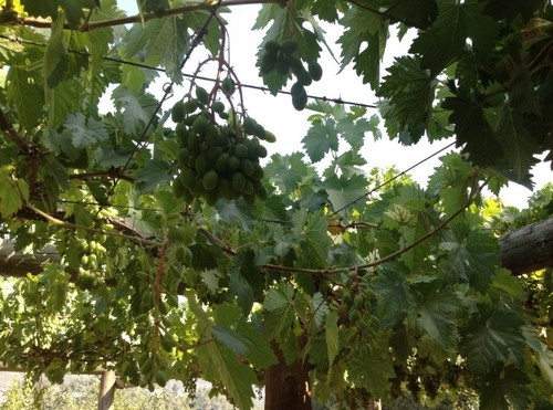 Grapes growing in Sataf